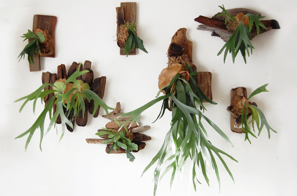 Driftwood Mounted Staghorn Ferns