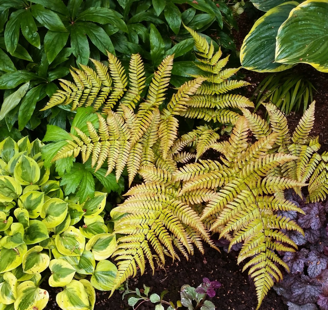 Dryopteris erythrosora Autumn Brilliance