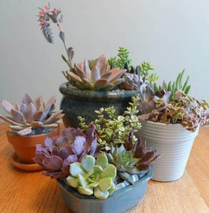 Dusty Blue Succulent Group