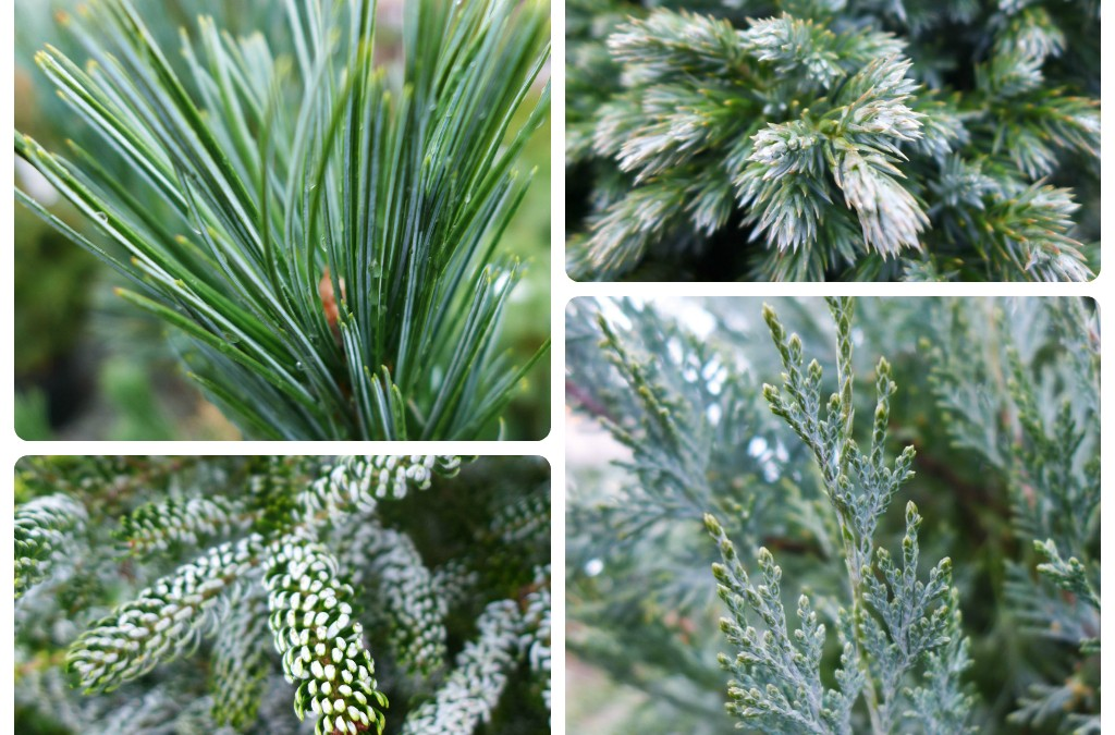 Conifers in Shades of Gold and Silver Brighten a Winter Garden