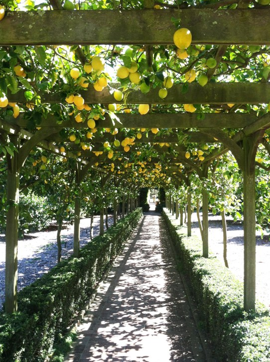 Lemon tree pergola