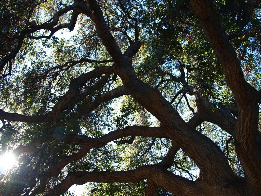 Coast live oak, Quercus agrifolia