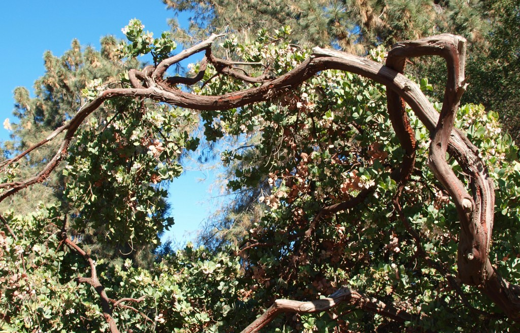 Twisted manzanita, Arctostaphylos sp.