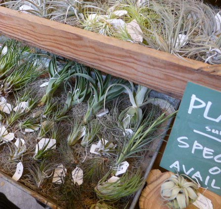Seattle Wholesale Growers Market tillandsia